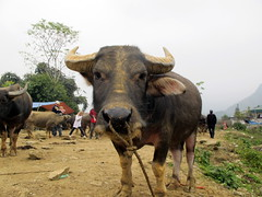 Water Buffalo for Sale