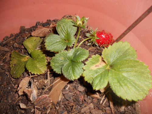 Ripe strawberry...in February