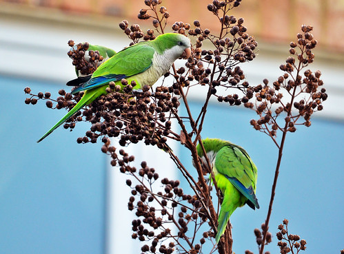 Whitestone: Monk Parakeets Enjoy Winter Berries