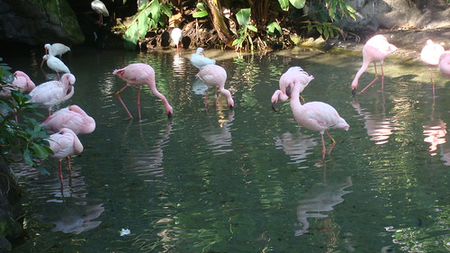 Flamingos. I'm totally in love! - Animal Kingdom (Orlando)