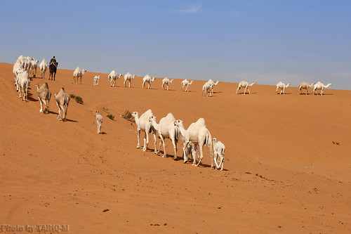 Trip of Camels by TARIQ-M