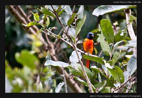 Scarlet Minivet (Male) | BR.Hills