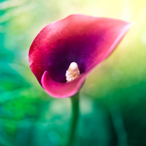 Flower por â–ºCubaGallery