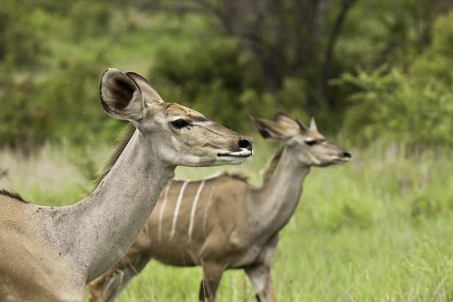 Kudu females, koedoe