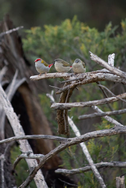 Red-browed Firetail family, 2012_01_26