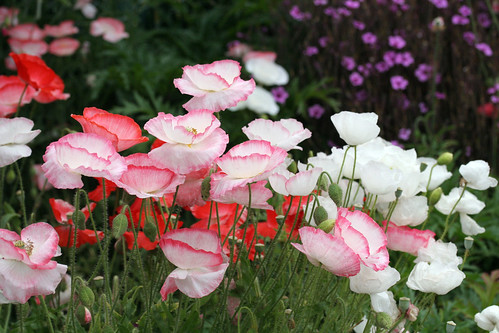 Romantic Papaver rhoeas 'Falling in Love'