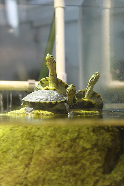 Three little turtles on a rock