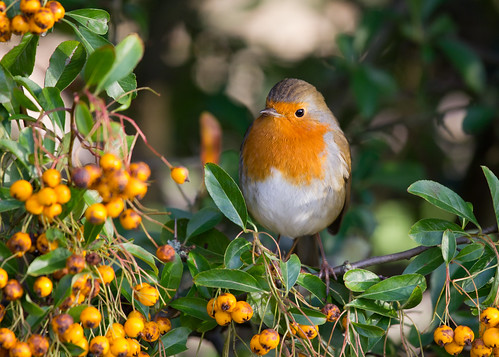 Robin 2 by JMS-P