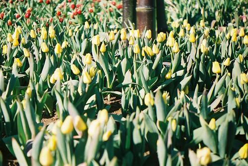 iced tulip