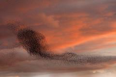 Starlings at Ham Wall