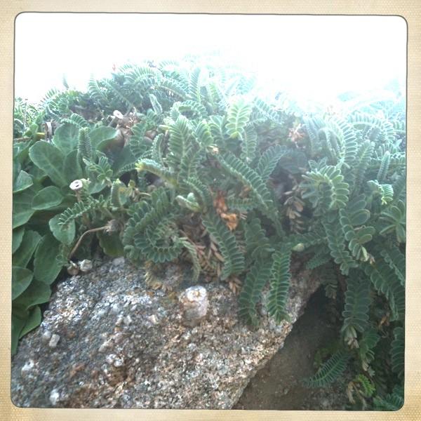 Astragalus nuttallii - Nattall's Milkvetch