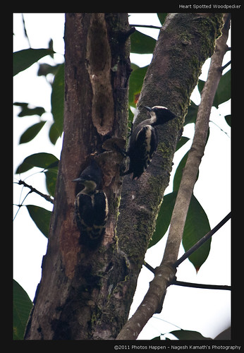 Heart Spotted Woodpecker