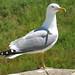Seagull - Corsica