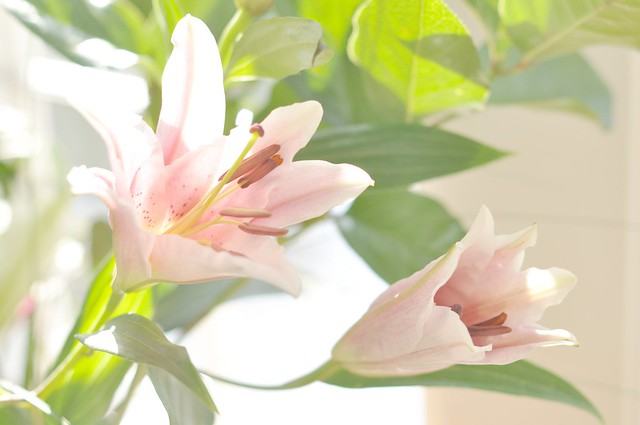 pink lilies w/ overlay