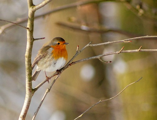 Red Robin by Schepers