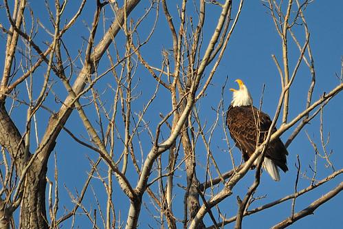 Eagle with an attitude