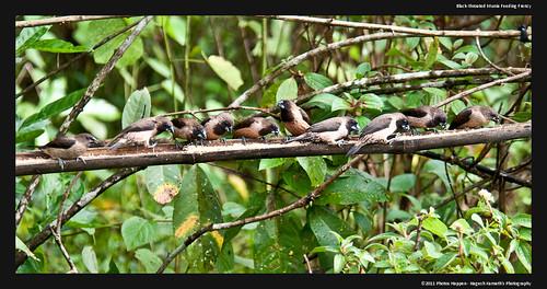 Black-throated Munia Feeding Frenzy