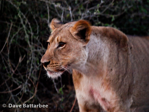 Lioness in the evening