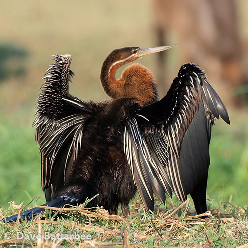 African Darter (Square)