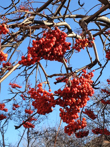 Berries in Tree