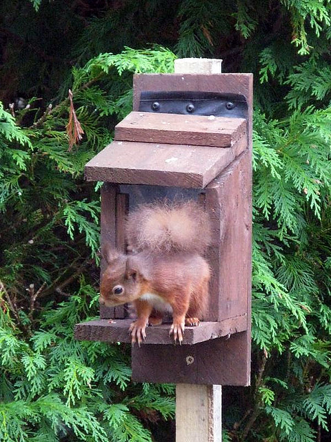 Red squirrel in our garden