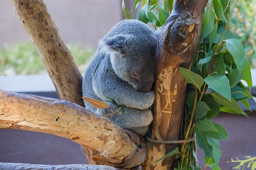 Sleepy Koala Bear San Diego Zoo 2011 by chris favero