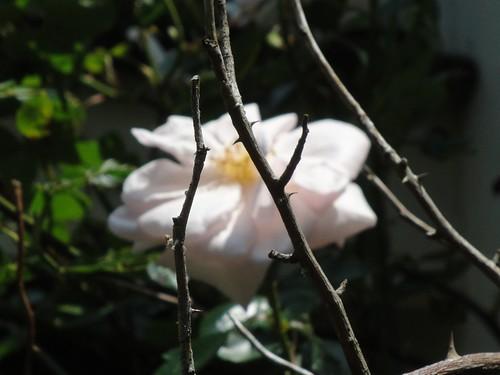 Van Fleet Rose by Carmen CS