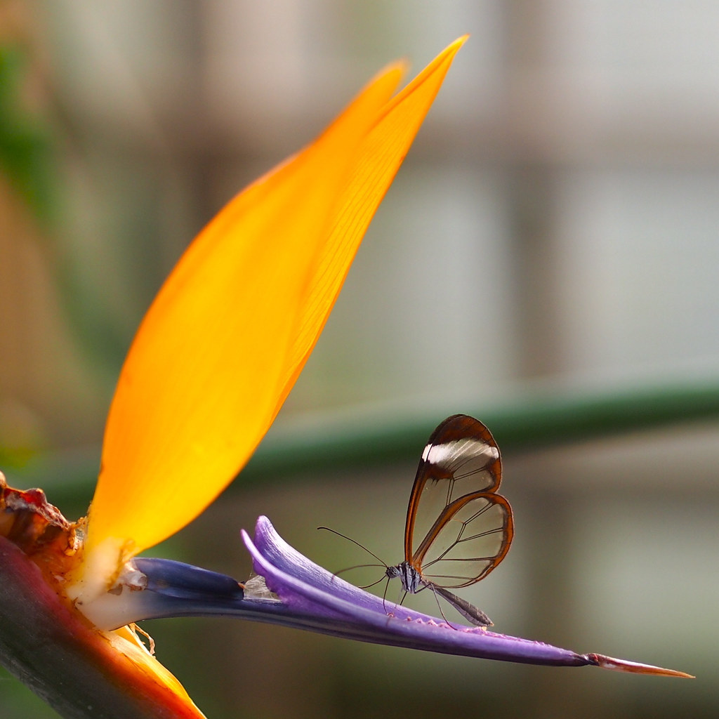 Glasswing on a bird of paradise