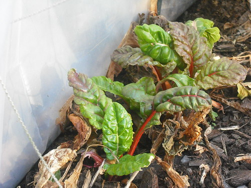 Swiss Chard Feb 20