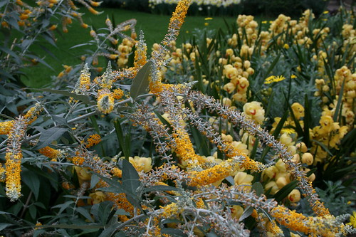 Yellow Butterfly bush