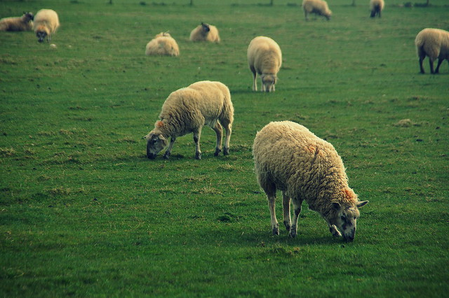 Welsh sheeps