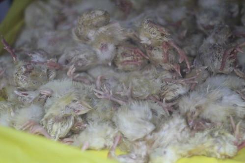 Poor frozen chicks