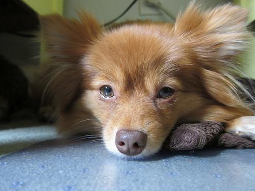 Sweetie Dog
