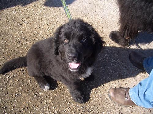 Albert the Newfoundland puppy