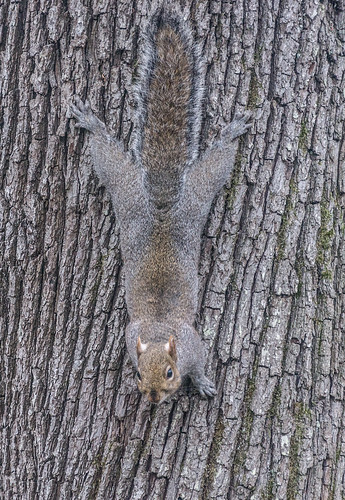 Squirrel Tries To Hide In full View by infomatique