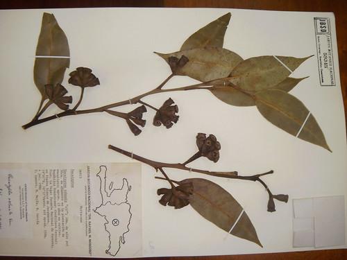 Eucalyptus robustus