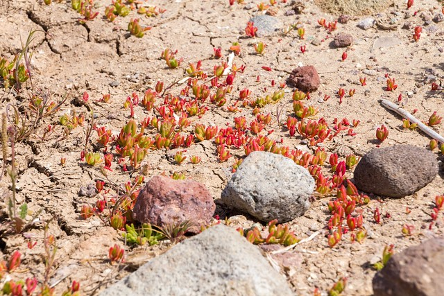 Red succulents on dry, cracked earth