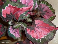 Begonia (3 per Day)