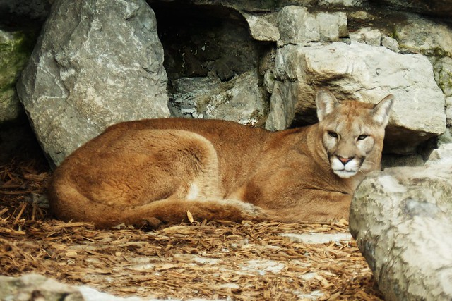 Relaxing Cougar