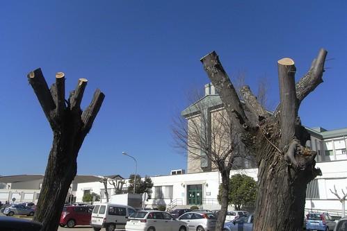 Poda brutal delante de las cruces en la parte Sur del Campus Rabanales.