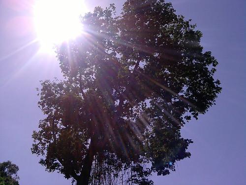 Ye olde cotton tree