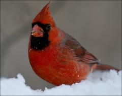 Northern Cardinal 11