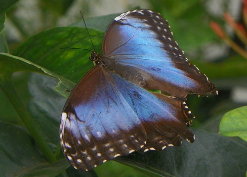 Common Morpho (Morpho helenor limpida)