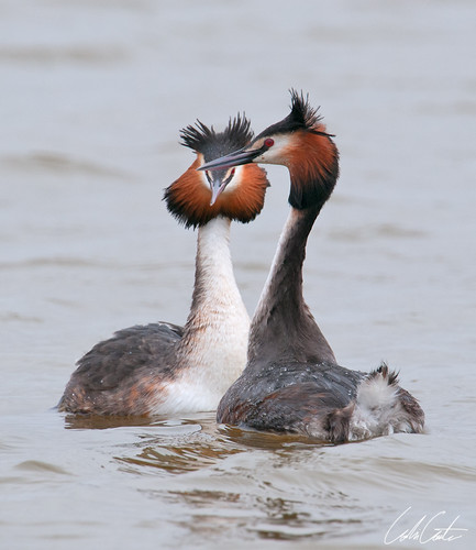 Great Crested Grebes by TheApertureMan