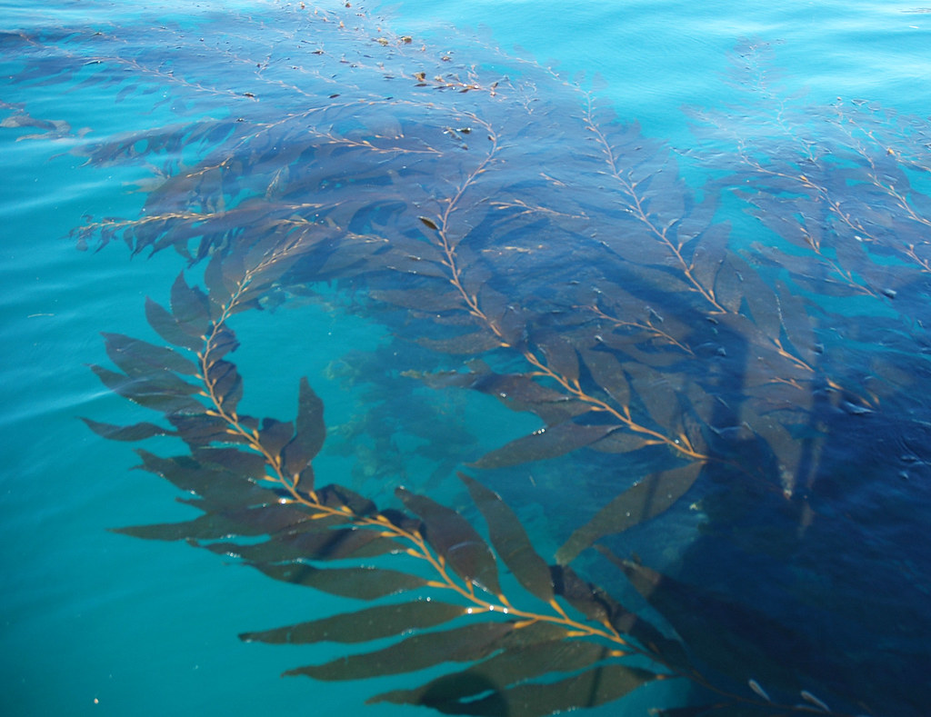 Beautiful Kelp