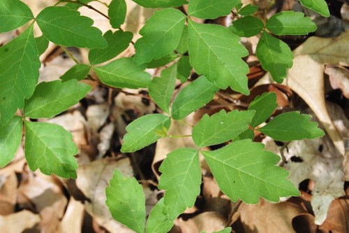 Fragrant sumac has leaves that resemble those of poison ivy but doesn't have a stem on its central leaflet.