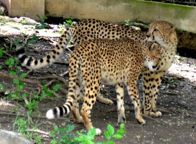 Cheetah Snuggles