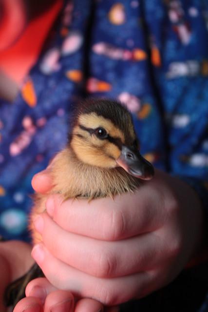 Duckling Morning