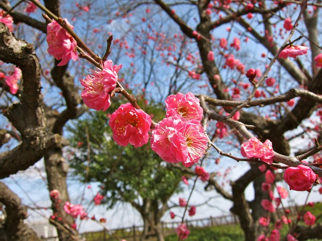 Plum blossoms!