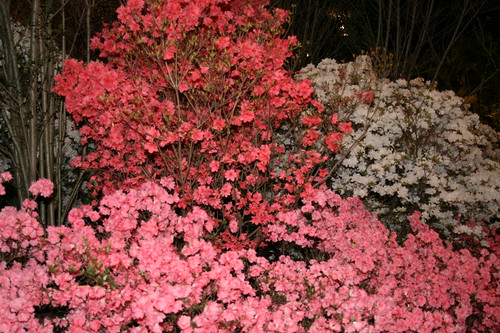 Salmon and pink azaleas